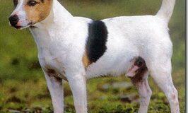 Terrier Jack Russel