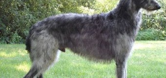 Le Deerhound