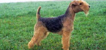 Le Lakeland Terrier