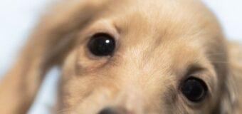 Les maladies les plus courantes chez les chiens