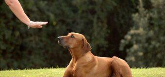 Quelles sont les meilleures méthodes avérées pour dresser les chiens ?