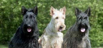 Dressez votre terrier écossais – Scottish Terrier