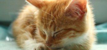 Le ronronnement : un comportement utile pour les chats