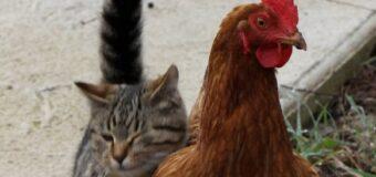 Comment assurer la bonne cohabitation entre des poules et d'autres animaux de compagnie ?