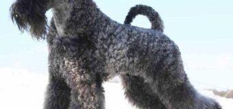 Le Kerry Blue Terrier, une certaine tendance à l'entêtement