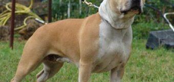 American Staffordshire Terrier ou Am'staff