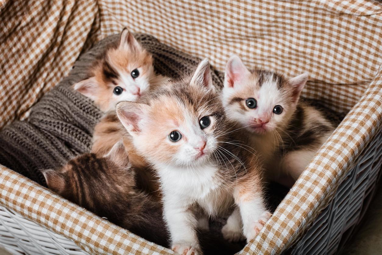 Trois chatons dans un panier