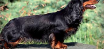 5 races de chiens aux poils bringés les plus populaires