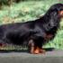 teckel chien à poils bringés