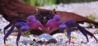 Crabes vampires : ces nouveaux animaux qui rejoignent nos aquariums